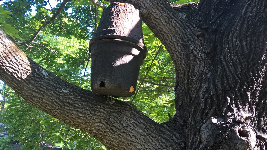 I Put Up A Couple Of Swarm Traps One In The Tree That My Honey Hive Originally Swarmed To Before Returning Its Immediately Scout Bees Checked Out